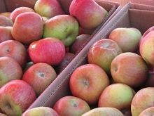 Fuji apples are abundant and crunchy