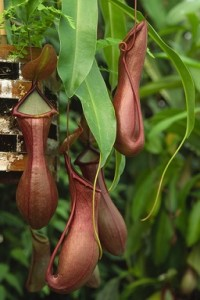 These pitcher plant traps may look more like flowers, but they are actually modified leaves