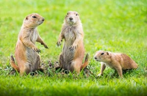 Whole colonies of prairie dogs, who are an integral part of the ecosystem, are wiped out to make the landscape more friendly for cattle