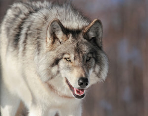 Would anyone dispute that this wolf is a carnivore?