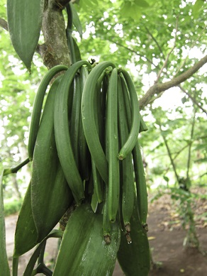 The seed pods of the vanilla flower are green when harvested, and must go through a multi-step curing process for the spice to develop its complex taste and fragrance