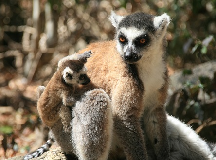 While in Madagascar, Wendy met this lovely ring-tailed lemur mother and baby in Anja Park
