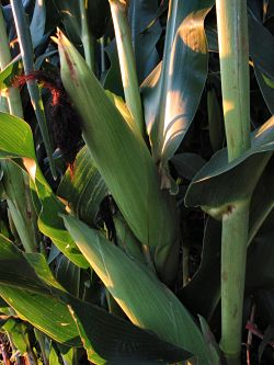 Would you rather eat whole corn right off a healthy plant in the field, or...