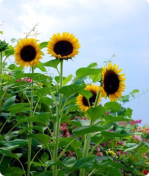 Sunflowers combine the cheerful beauty of flowers with a delicious crop