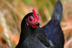 Although chicken has the image of health food, it is anything but