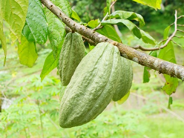 Cacao beans grow in large pods, and are harvested when they are ripe