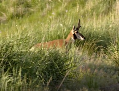This beautiful pronghorn, a native species, regained its home after cattle were removed from Hart Mountain